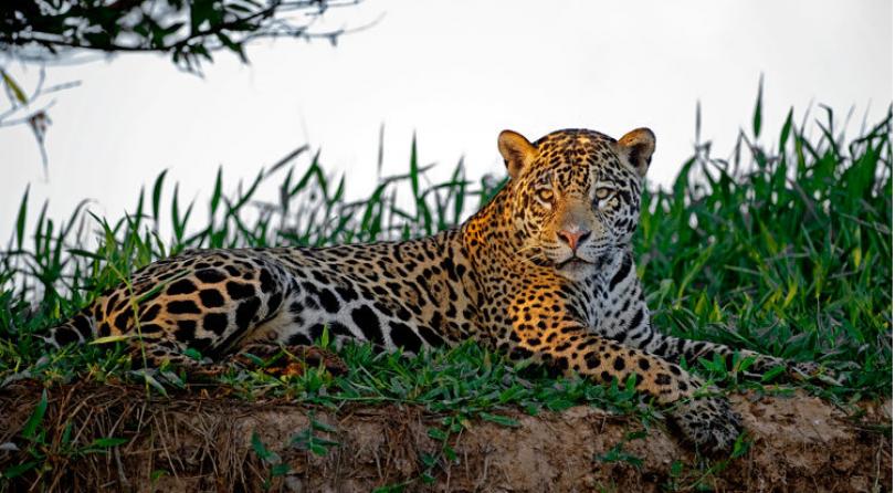 Brasile: Viaggio fotografico – I giaguari del Pantanal