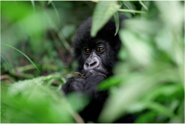 Rwuanda: Viaggio fotografico – I vulcani e i gorilla di montagna