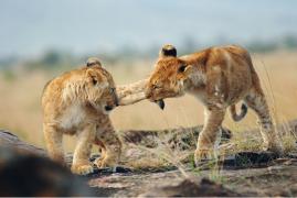 Kenia/Tanzania: Viaggio fotografico – I grandi felini della savana