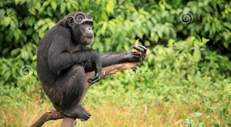 Fra gli scimpanzè in Uganda