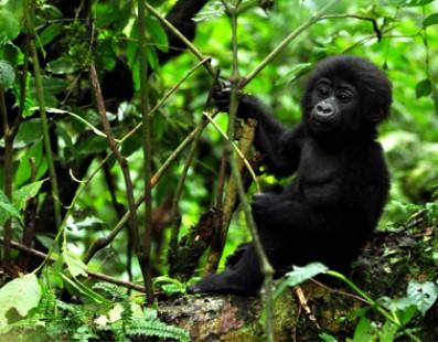 Uganda: Gorilla e Parchi Nazionali