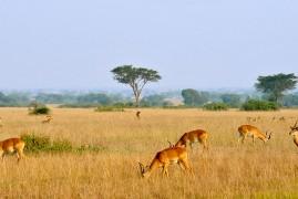 Uganda: safari e parchi nazionali