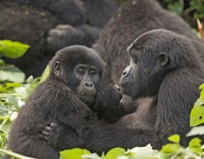 Uganda: i gorilla della foresta di Bwindi